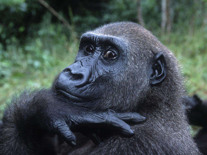 Western Lowland Gorilla (Gorilla gorilla gorilla), portrait. Orphaned gorillas reintroduced into the wild. Projet: