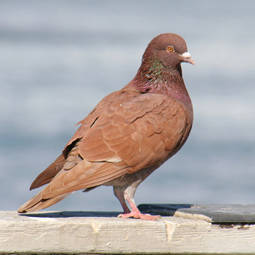 rock-pigeon-8a